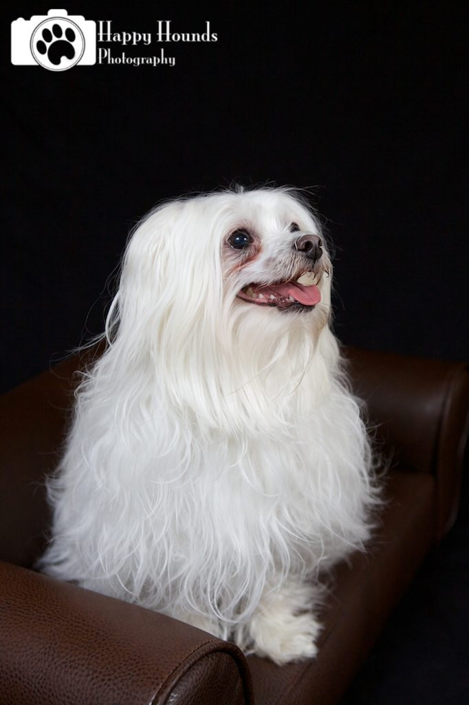 Maltese Poses for Portrait
