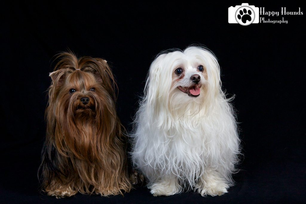 Maltese and Yorkie Pose Together for Portrait