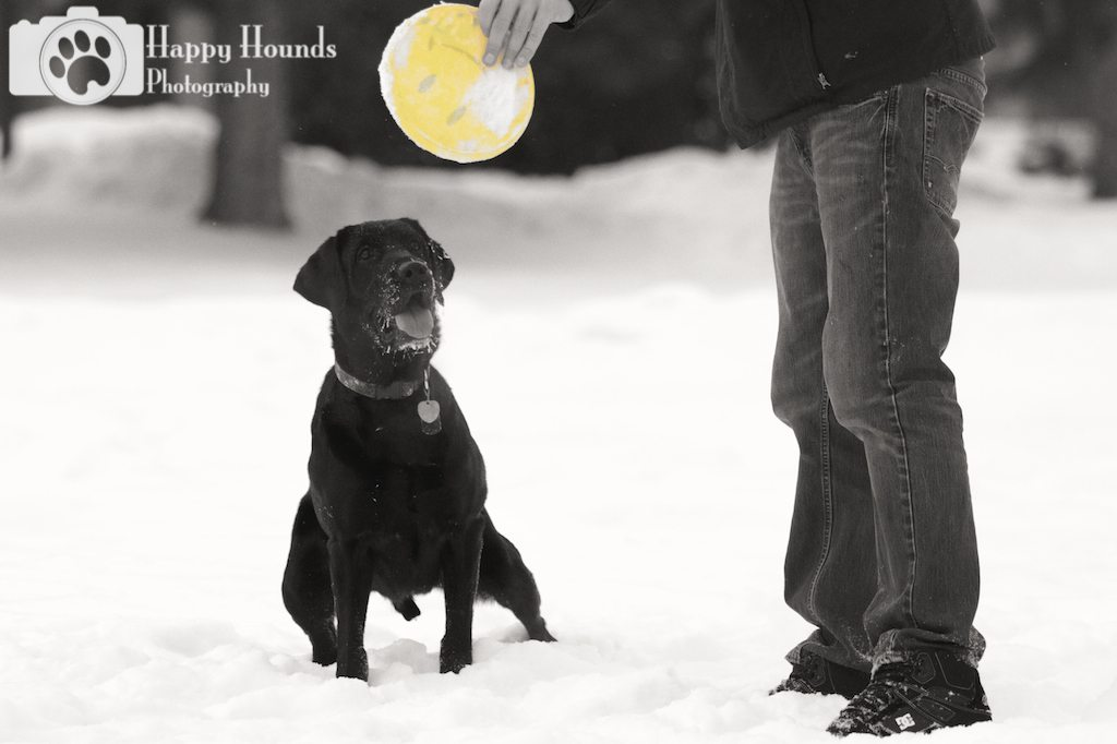 Pet Portraits Black Lab with Frisbee