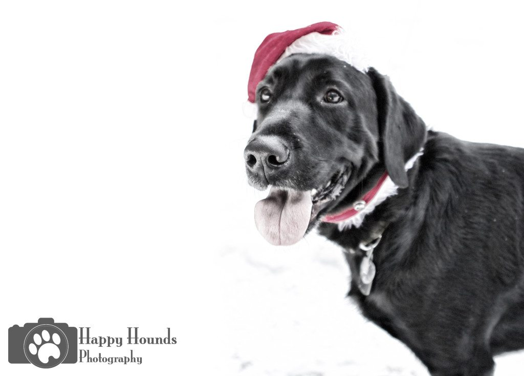 Black Lab Canine Holiday Portraits